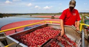 La cosecha de arándanos rojos en Wisconsin